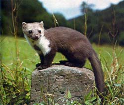 Stone marten on a stone post