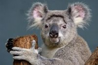 Koalas could be extinct in 30 years